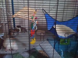 rat-home